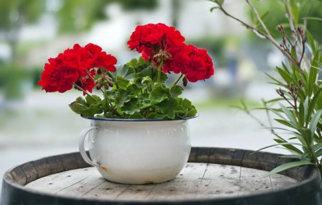 Pot of Red Geraniums on resident balcony
