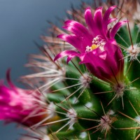 Lilac flowers and pricks of cactus close up