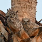 Great Horned Owls nested in our palm tree!