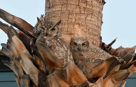 Meet the Great Horned Owls, our Most Popular Residents
